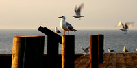 Grand Portage Gulls on the Dock