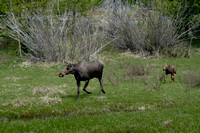 A Moose and Her Calf