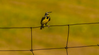 Western Meadowlark in National Bison Range