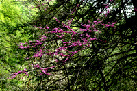 Redbud, Abrams Creek Campground