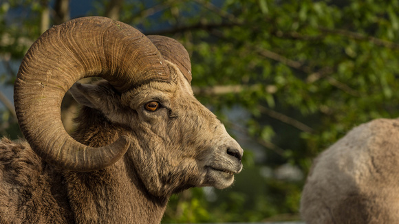 Waterton Mountain Sheep