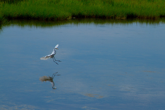 Egret from Wildlife Viewing Area at Bodie Lighthouse